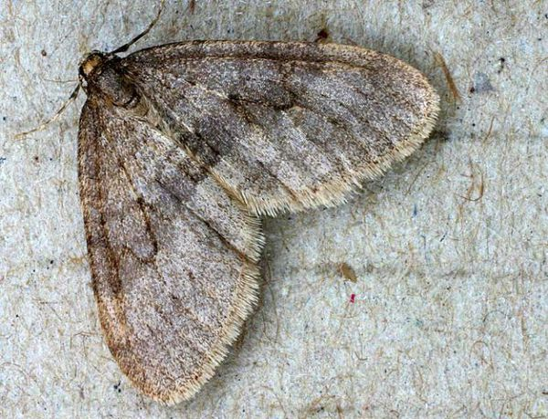 Winter Moth Male