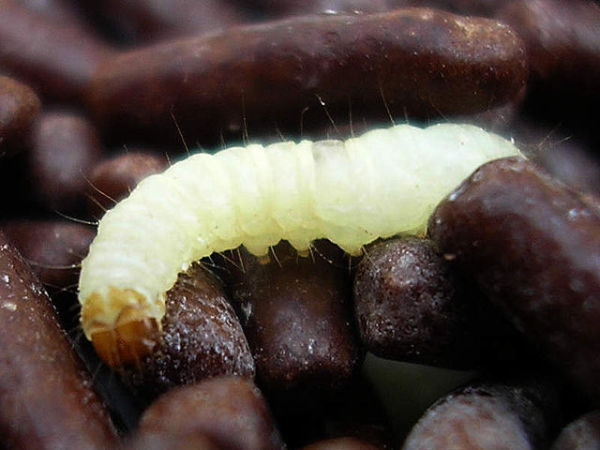 Indian Meal Moth Larva