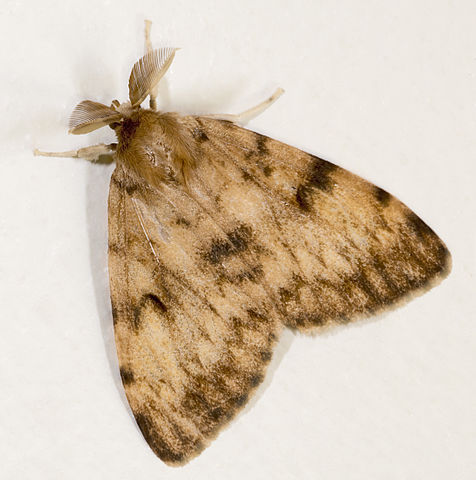 Gypsy Moth - Male
