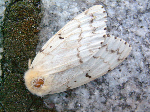 Gypsy Moth - Female
